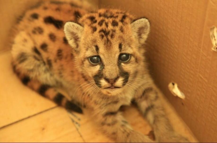 suave cubrir Apariencia  Rescatan cría de Puma Concolor en Puerto Gaitán | Periodico del Meta