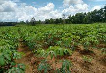 La variedad de Yuca Melúa 31 es propicia para los suelos de la Orinoquia.