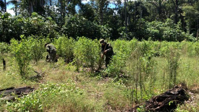 La Fuerza Pública realiza labores intensas de erradicación manual de cultivos ilícitos la Fuerza Pública realiza labores intensas de erradicación manual de cultivos ilícitos en el sur del Metaen el sur del Meta